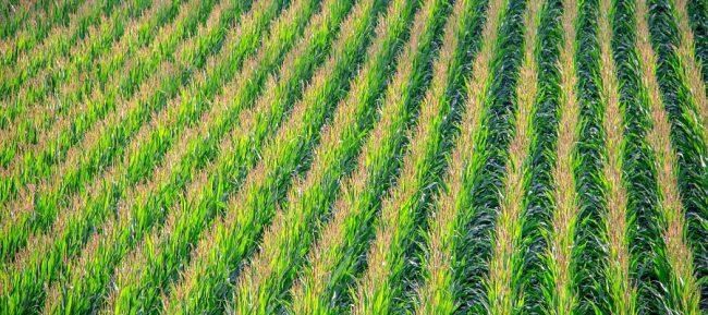 cornfield-902877_1920_opt (2)