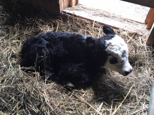 shows a newborn beef calf